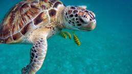 Grüne Schildkröte mit Fischen | kelonya.ch