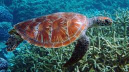 Grüne Schildkröte | kelonya.ch