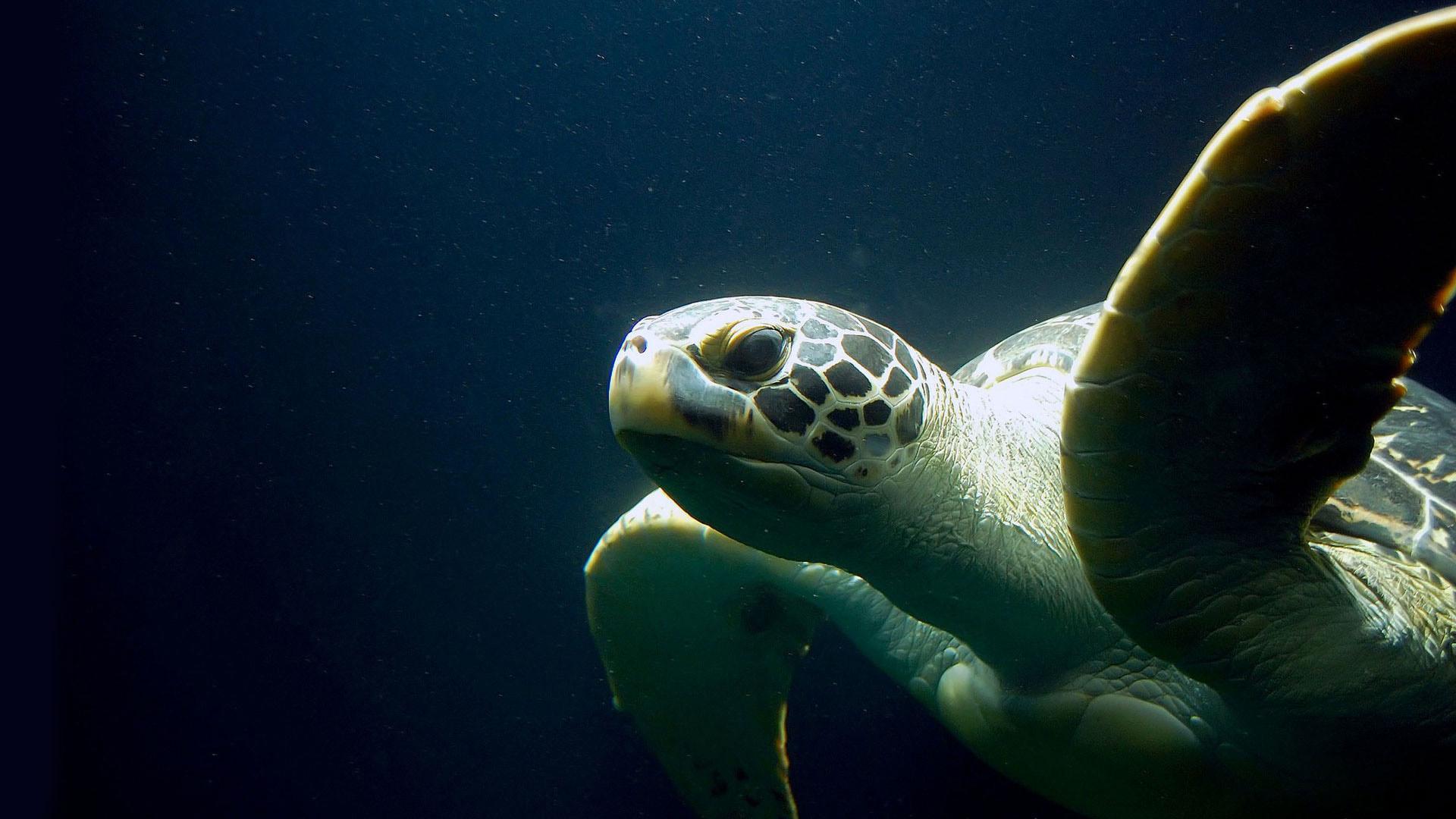 Meeresschildkröte Dunkel | kelonya.ch
