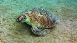 Grüne-Meeresschildkröte-liegend-von-oben | kelonya.ch