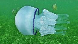 Lungenqualle schwimmend