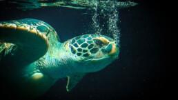 Meeresschildkröte atmend | kelonya.ch