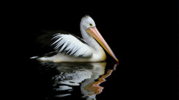 Pelikan-im-Wasser
