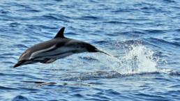 Streifendelfin springt aus dem Wasser | kelonya.ch