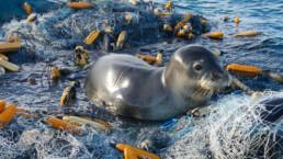 Robbe auf verlassenem Fischernetz | kelonya.ch