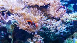 Clownfisch-in-Anemone | kelonya.ch