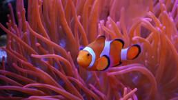 Clownfisch in Anemone | kelonya.ch