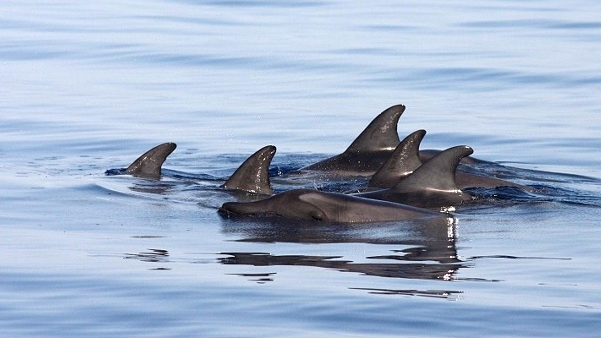 Delphine schwimmen im Meer. Rückenflosse sichtbar. | kelonya.ch