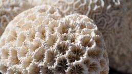 weisse Koralle | kelonya.ch