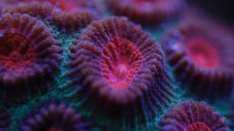 Nahaufnahme violette Koralle kelonya.ch